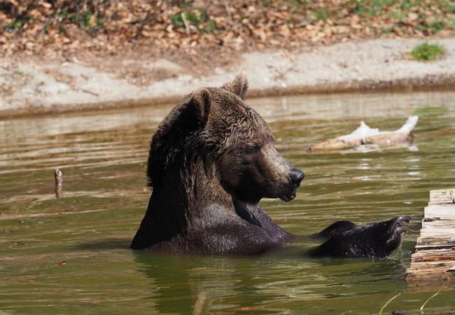 Die warme Frühlingssonne genießt Bär Erich im Teich