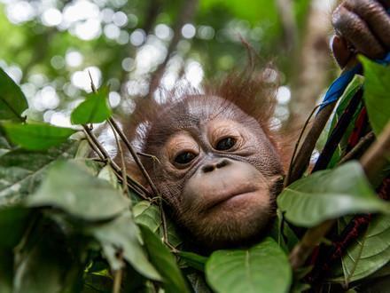 Orang-Utan Gonda in der Waldschule Borneo