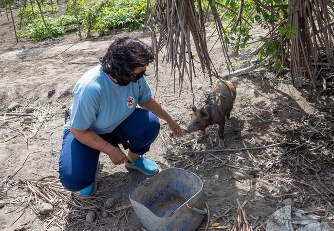 Helping farm animals after volcano 'Taal' erupted