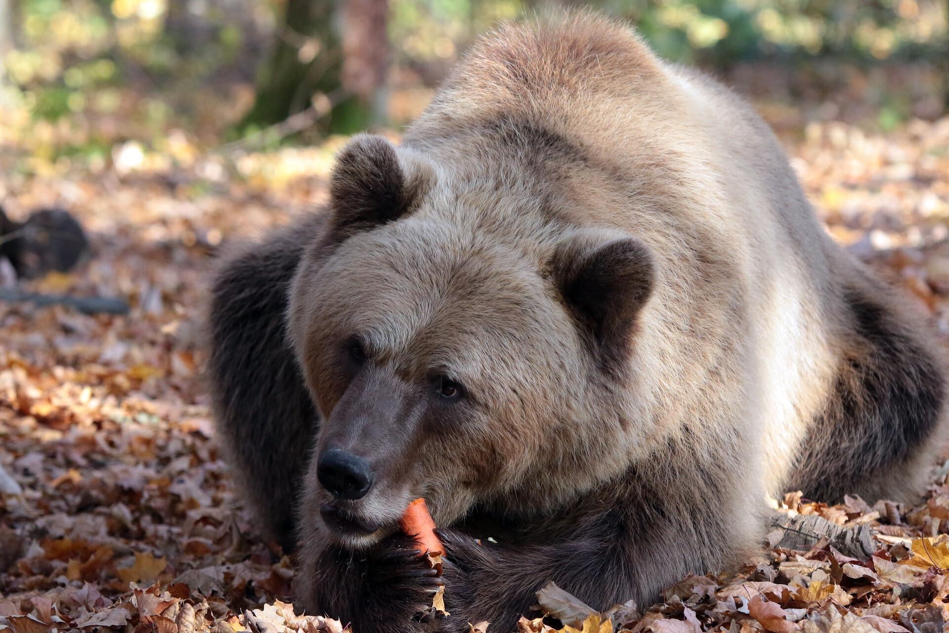Bear Bodia at BEAR SANCTUARY Domazhyr