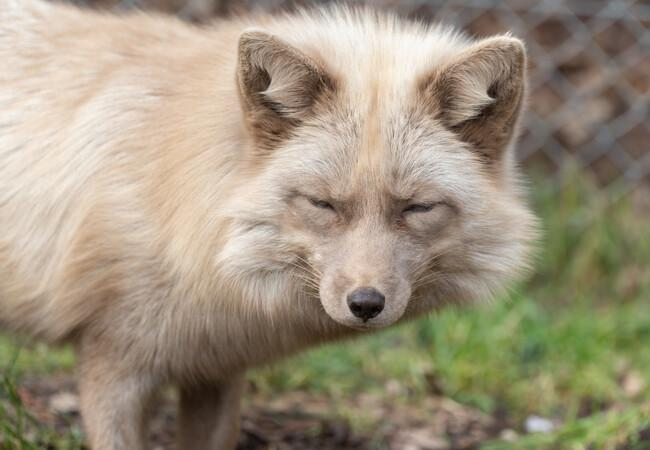 Fuchs Frodo in der Grosskatzenstation Tierart