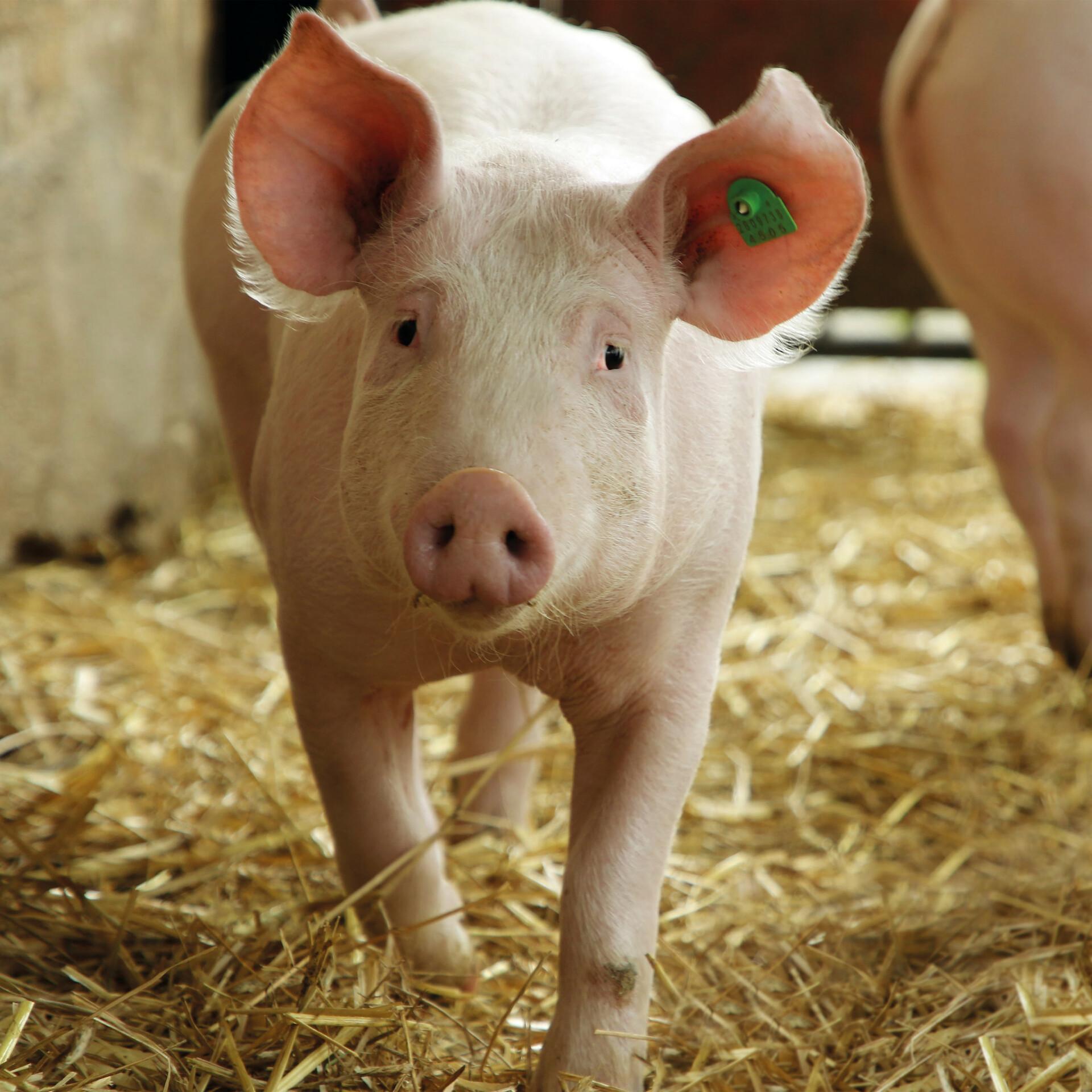 Schwein in artgemäßer Haltung