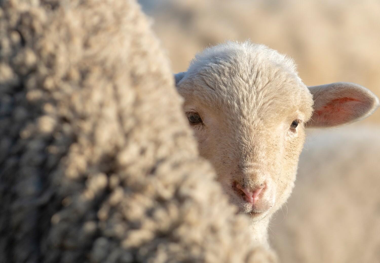 Lamb behind mother sheep