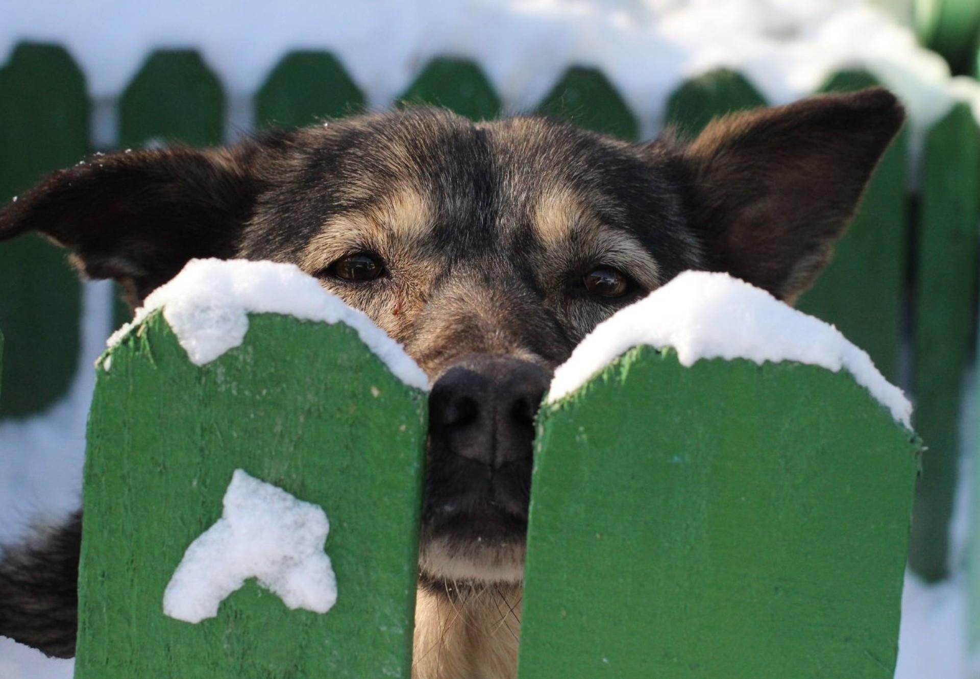 Hund schaut hinter dem verschneiten Gartenzaun hervor