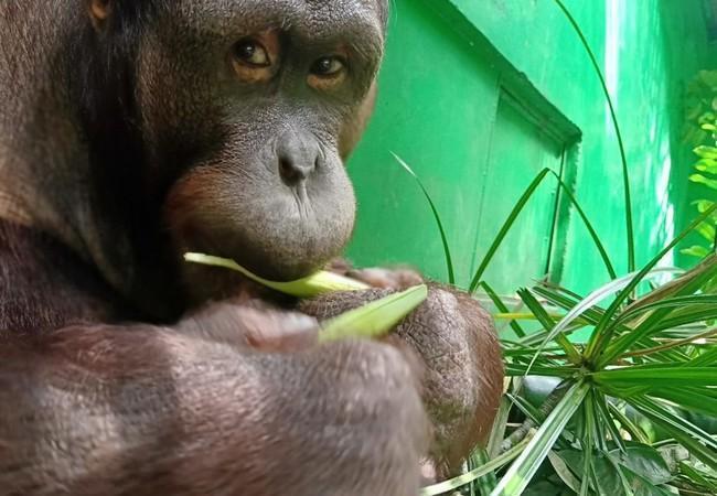 Orang-Utan Robin isst kleine Blätter