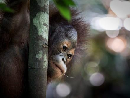 Orang-Utan Tegar in der Waldschule Borneo