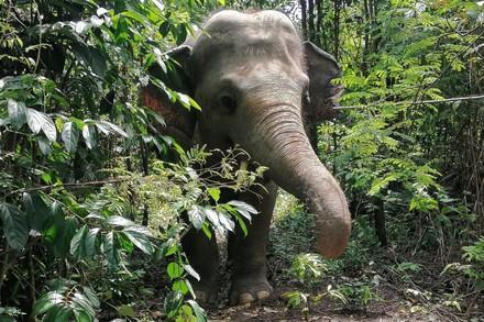 Kaavan is loving exploring his own jungle at Cambodia Wildlife Sanctuary