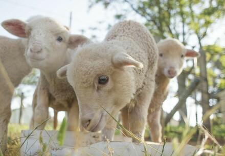 A flock of Merino lambs