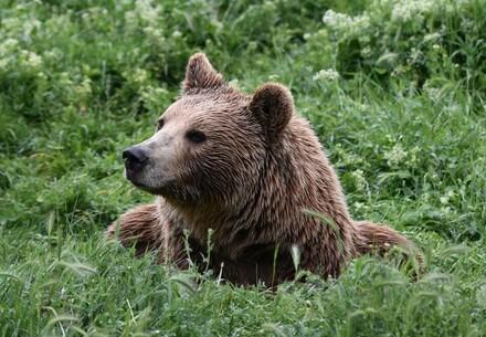 Bear Anik
