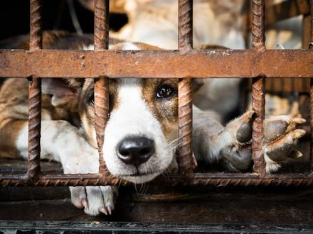 Dog & Cat Meat Trade