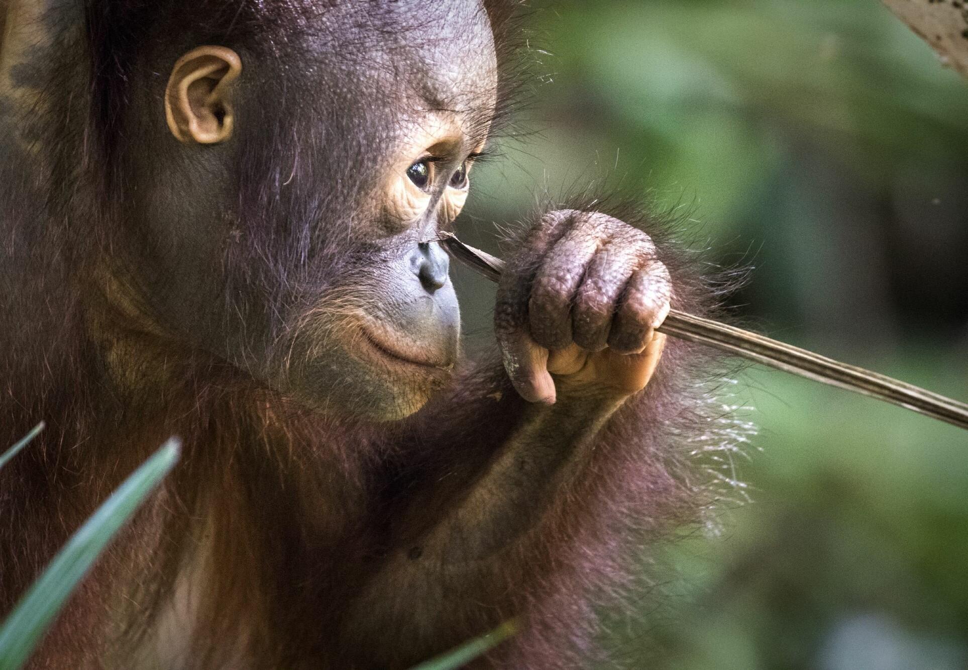 Orangutan at our ORANGUTAN FOREST SCHOOL