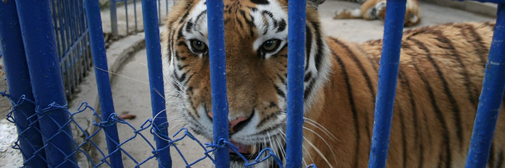 Tigers in a small cage
