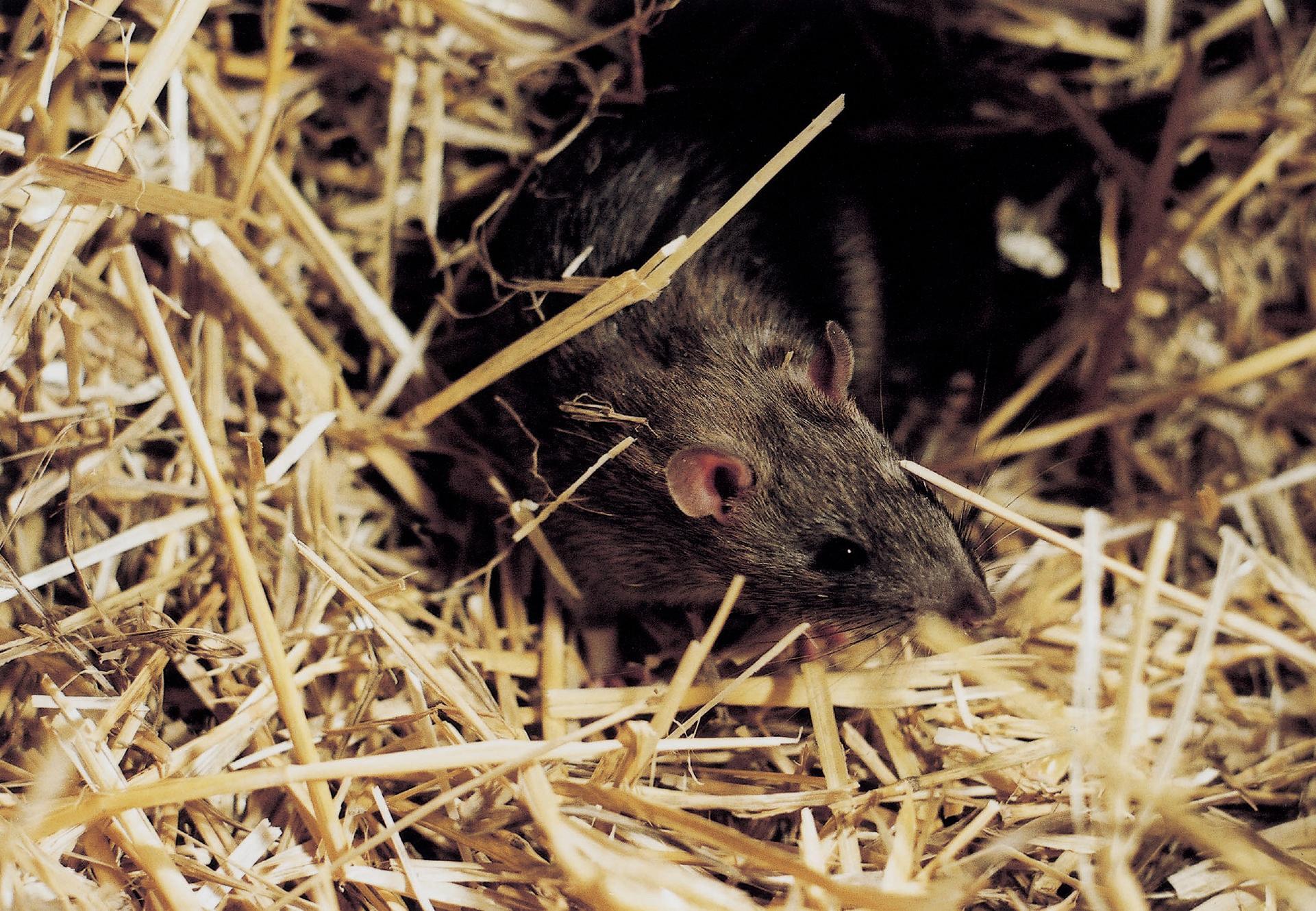 Ratten In Deutschland