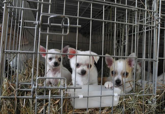 Les animaux souffrent lors du commerce illégal de chiots