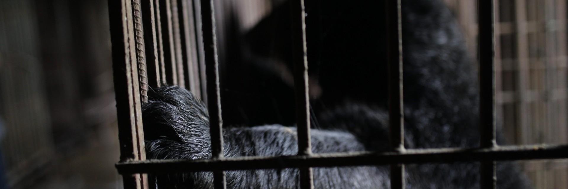 Gallebär im Käfig in Vietnam