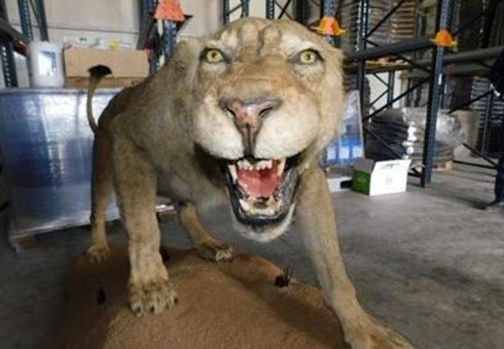 A stuffed lion found in a private warehouse in Razgad, Bulgaria!