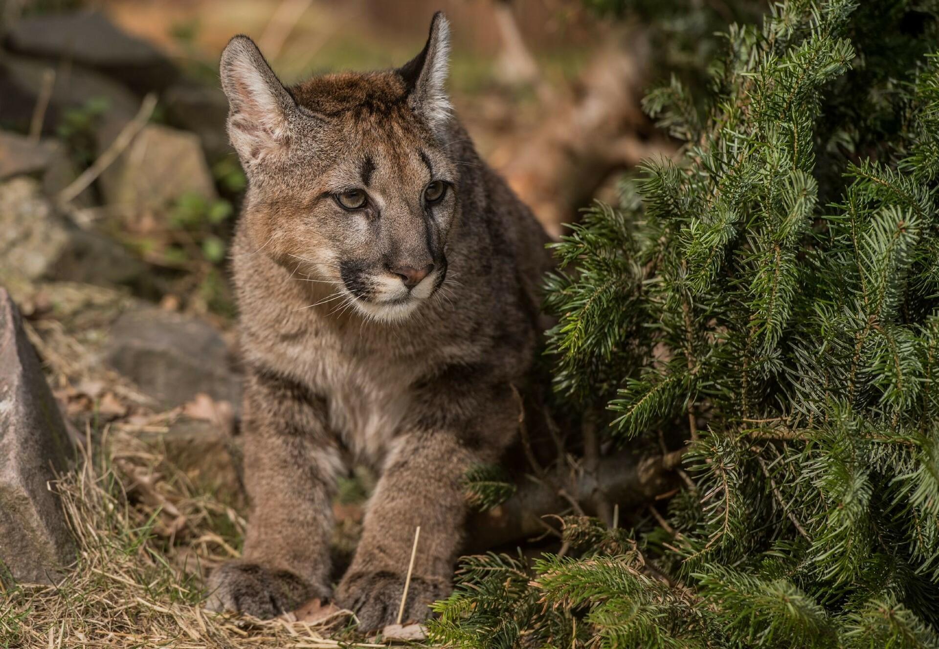 Puma Tikm versteckt sich
