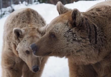 Die Bären Jerry und Vinzenz im Bärenwald Arbesbach