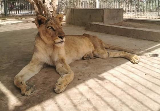 Kandaka the lion after treatment