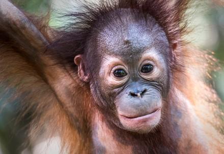 Orang-Utan Gerhana in der Waldschule Borneo