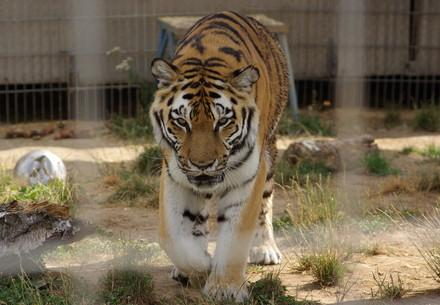 Tiger rescue in Germany and transfer to TIERART