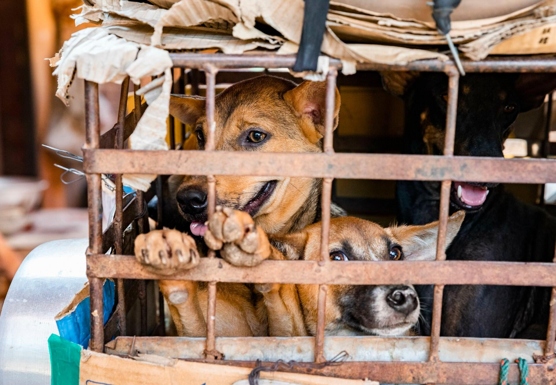Dogs at a slaughterhouse in Cambodia