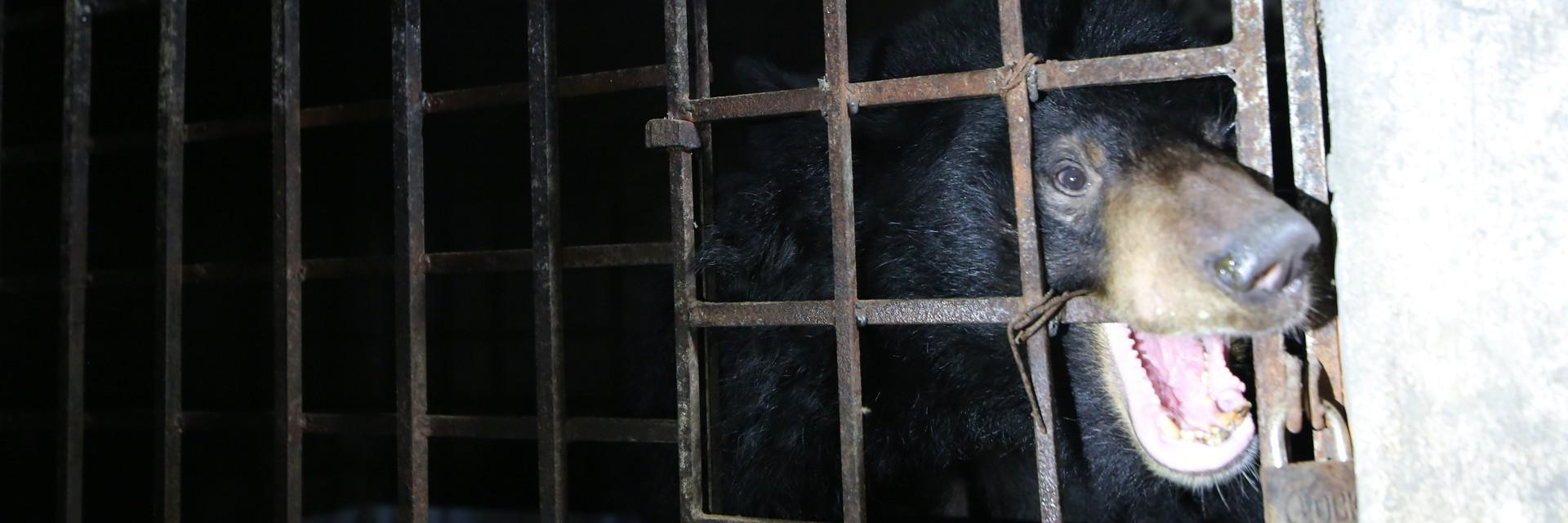 Gallebär im Käfig