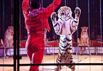 Tiger in circus