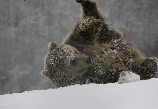 Brown rescued bear rolling in the snow