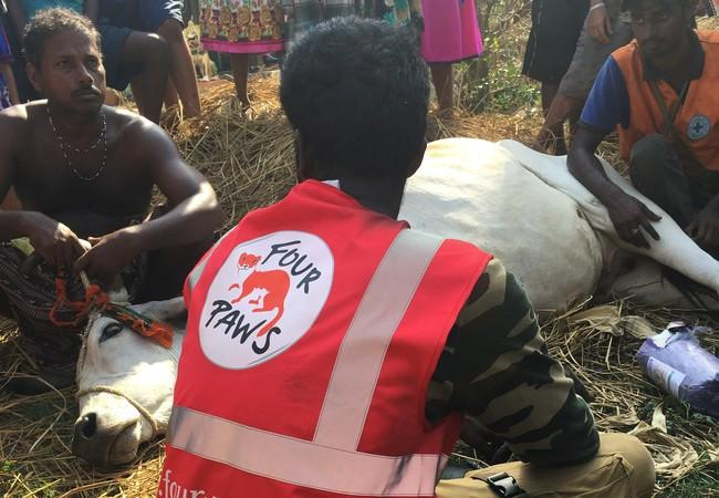 Veterinary care being given to a cow after Cyclone 'Fani'