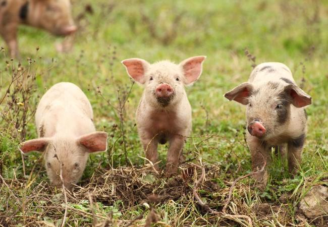 Junge Schweine auf einer Wiese