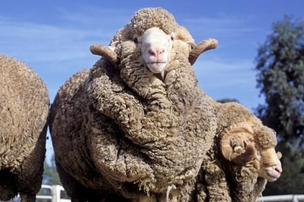 Schaf mit Hautfalten