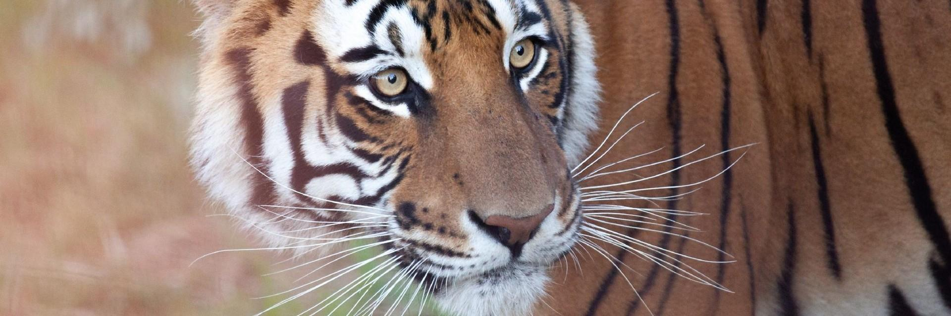 Tiger rescued from Bloemfontein Zoo