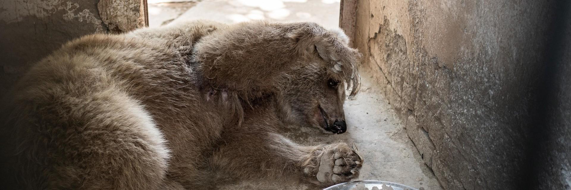Ein verwahrloster Bär liegt in seinem Käfig