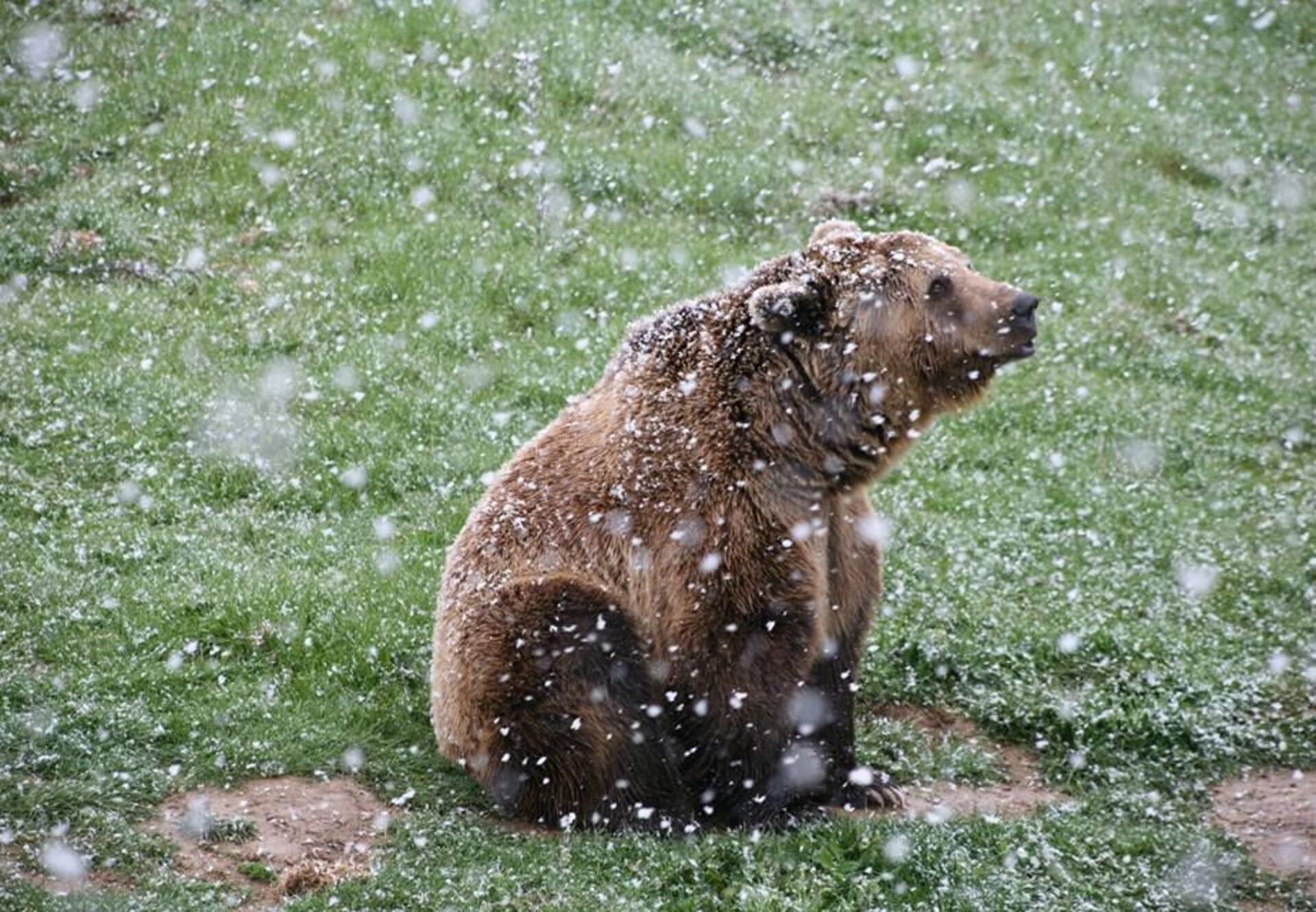 Braunbär auf Wiese mit Schneeflocken