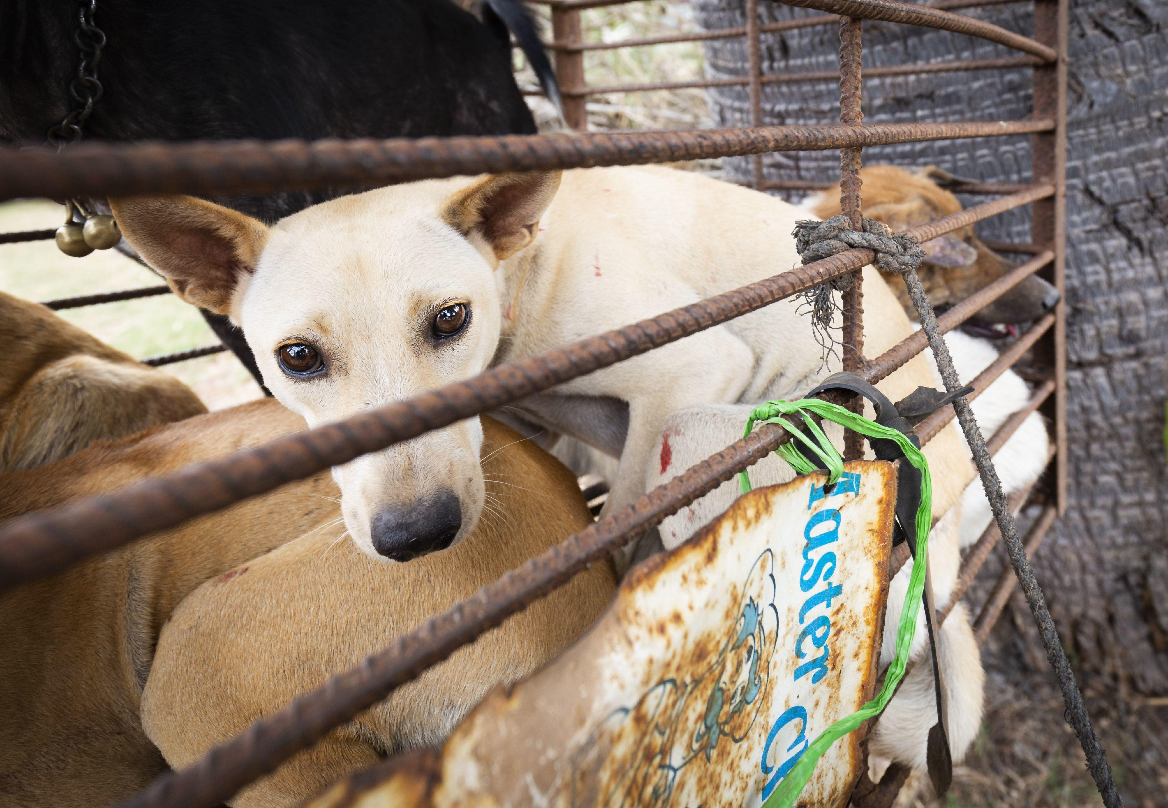A dog in a cage on a motobike Takeo, Cambodia