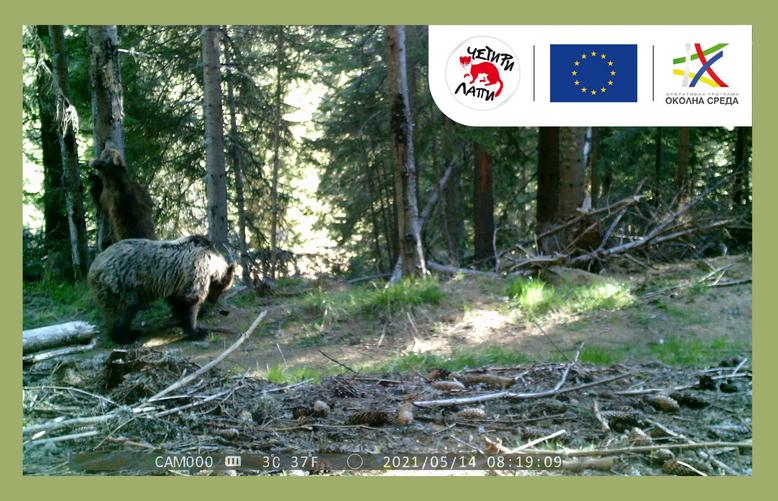 Намерени мечки в Родопите