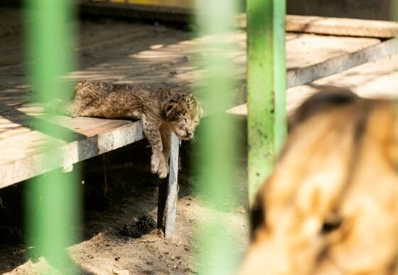 Leeuwenwelpje in trieste omstandigheden