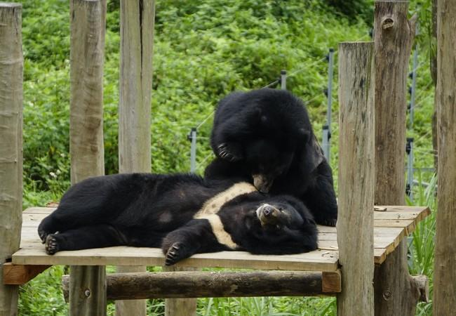 Bear Tao exploring his outdoor enclosure at BEAR SANCTUARY Ninh Binh, Vietnam