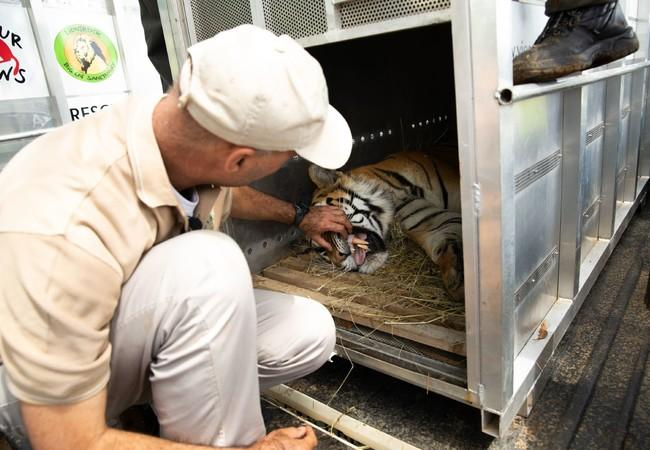 Veterinarian examing a tiger before being transferred to LIONSROCK