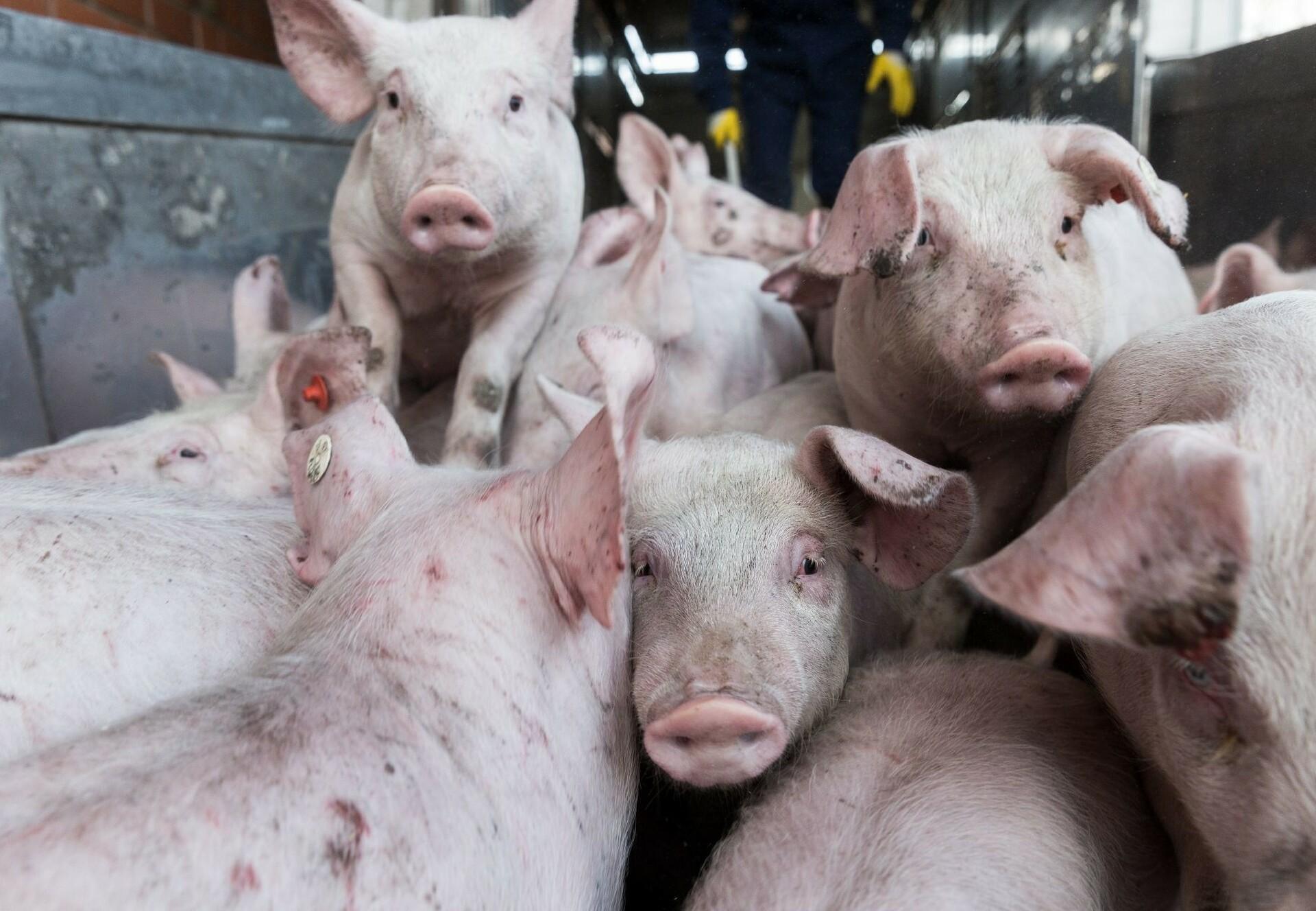 Tiertransport mit Schweinen (c) VIER PFOTEN   Fred Dott
