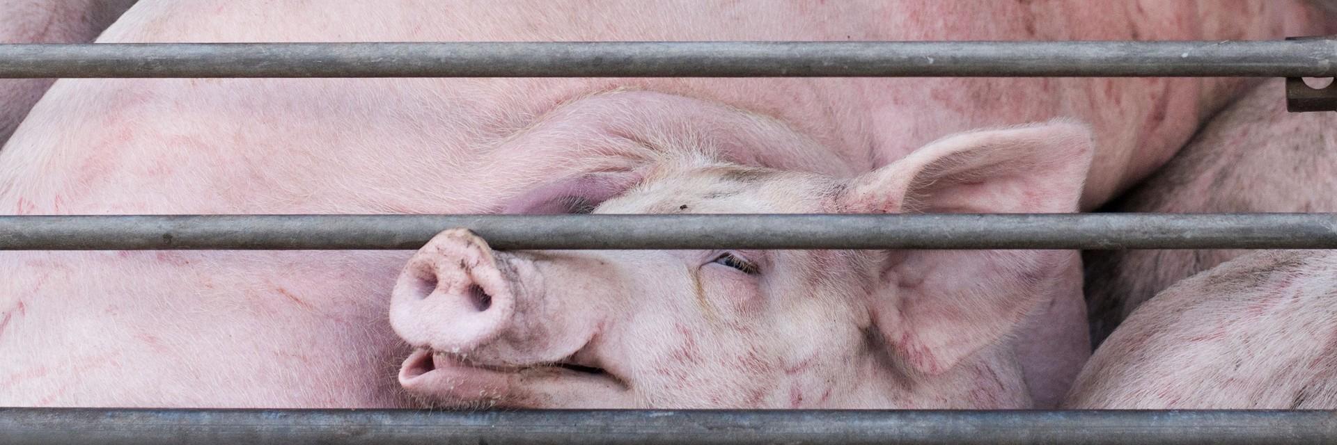 Schweine auf einem Tiertransporter