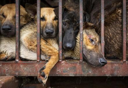 Eingesperrte Hunde in Hanoi