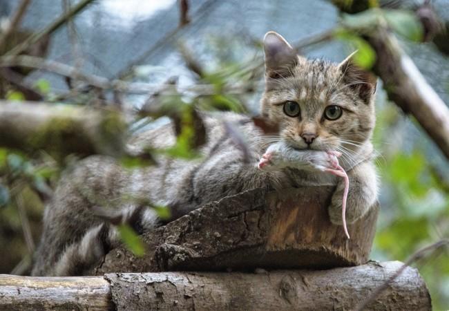 Wildkatzen fressen gerne Mäuse
