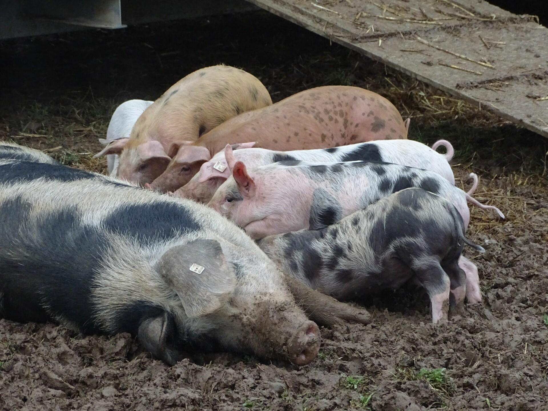 Schwein mit Ferkel in Freilandhaltung