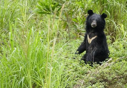 Asiatic black Bear Mui
