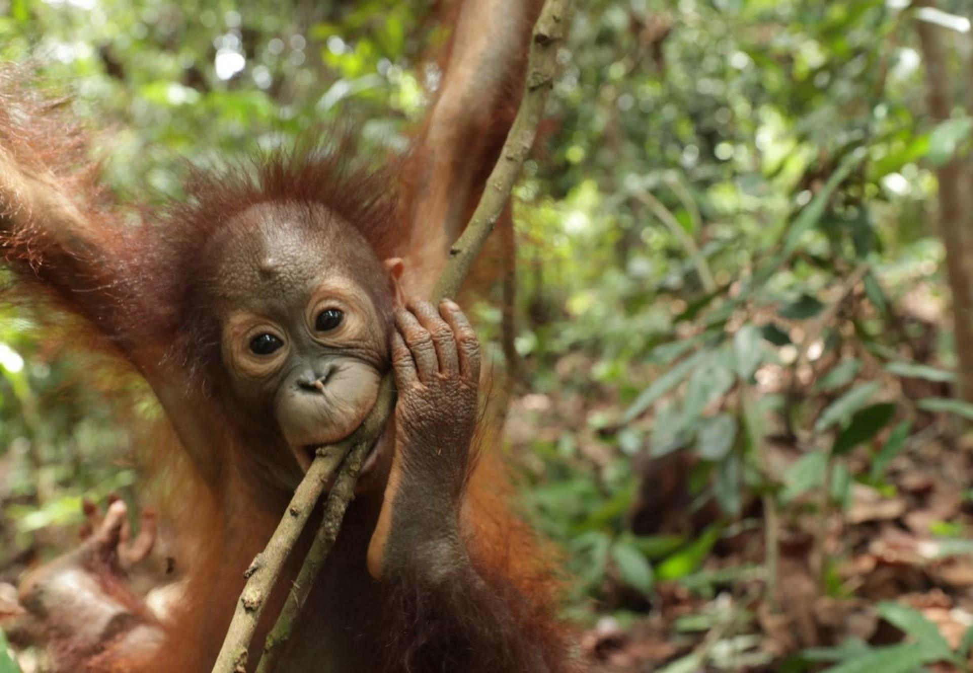 Orang-Utan in der Waldschule auf Borneo