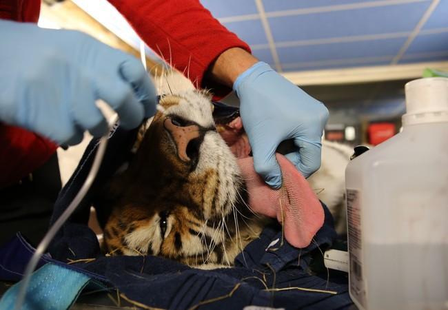 In FELIDA heeft Caruso meerdere operaties gehad, o.a. aan zijn gebit