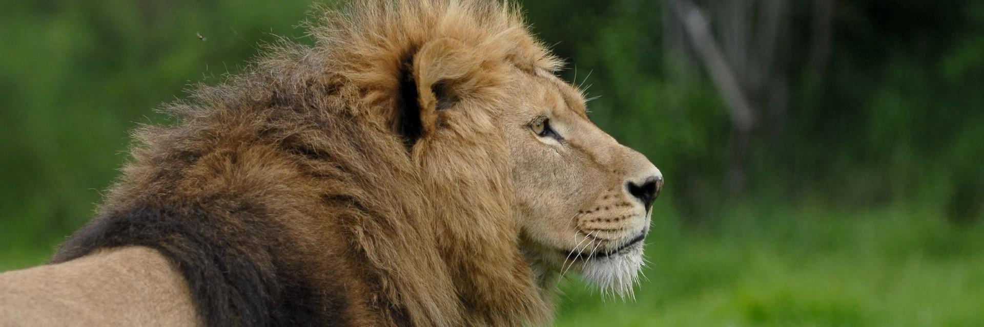 Lion in LIONSROCK