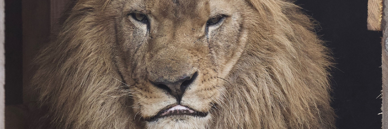 Lion Lenci at FELIDA